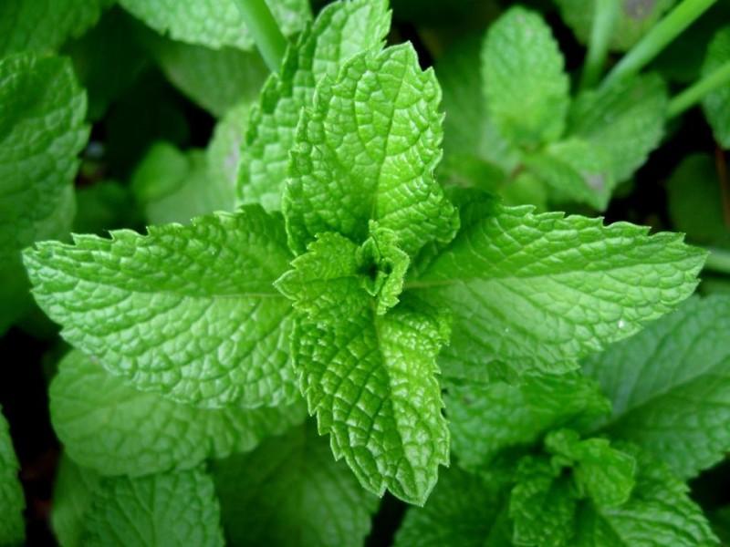 Ce plante naturale sa folosesti pentru tratamentul cefaleei