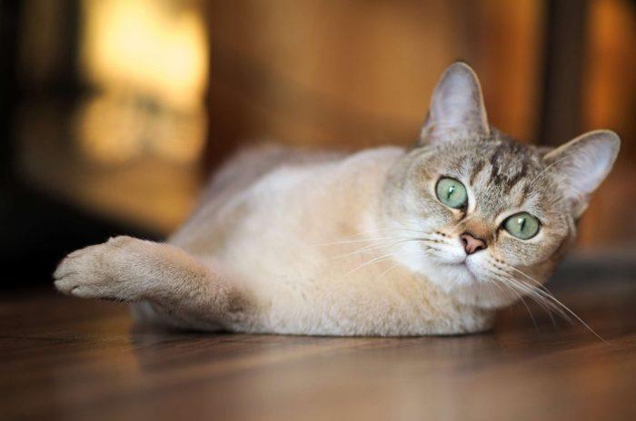 Cele mai bune pisici de rasa mixta